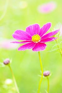 秋桜(コスモス)の咲くころ - スポック艦長のPhoto Diary