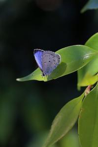 ヤクシマルリシジミのテリ張 - 蝶超天国