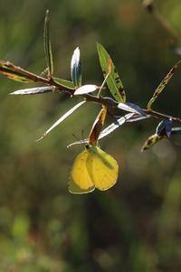 河原で見つけたキタキチョウの蛹ほか五目撮り - 蝶超天国