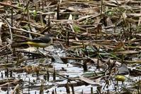 チュウヒも見れました!★先週末の鳥類園(2020.10.10~11) - 葛西臨海公園・鳥類園Ⅱ