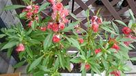 鳳仙花の幼虫 - ウィズ(ゼロ)コロナのうちの庭の備忘録~Green's Garden~