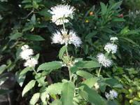 段菊 - だんご虫の花