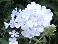 フロックス - だんご虫の花