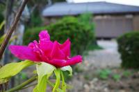 寒牡丹咲きました - yoshiのGR散歩