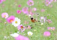 ノビタキ&コスモスの花 - THE LIFE OF BIRDS ー 野鳥つれづれ記