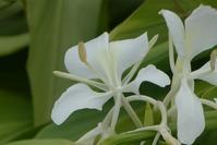 ジンジャーの花 - そらいろのパレット