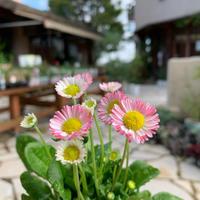 花苗、色々入荷してます!! - ブレスガーデン Breath Garden 大阪・泉南のお花屋さんです。バルーンもはじめました。