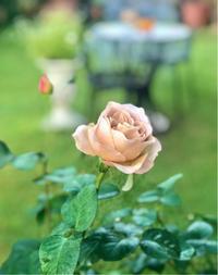 カフェラテの秋バラ♡と雨の前の薬剤散布♫ - 薪割りマコのバラの庭
