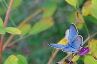 瑠璃シジミ - Blue Planet Cafe  青い地球を散歩する