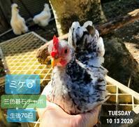 チャボは大人しい - 烏骨鶏かわいいブログ