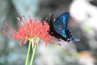 ヒガンバナにミヤマカラスアゲハのオスByヒナ - 仲良し夫婦DE生き物ブログ