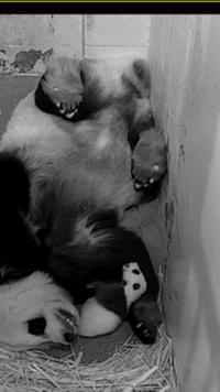 ナショナルズー(ワシントンDC国立動物園)のパンダの赤ちゃん - 本と、子どもと。