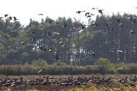 ようやくMFにも雁の群れ・・・シジュウカラガンも - 今日の鳥さんⅡ