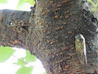 20200805 今日の生きものクマゼミとアブラゼミ - 中書島の自然