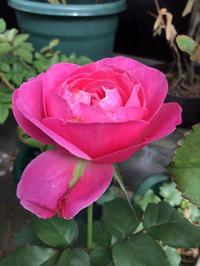 咲きそうでまだ咲かないウォンカは男?って考えながら音楽を聴く深夜 - バラやらナンやら