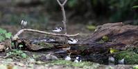 MFの森で小鳥の水浴びが見られました - 私の鳥撮り散歩