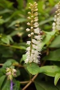 「シモバシラという名の秋の花」 - もるとゆらじお