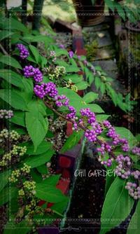 紫の小さな実とアネモネとラナンキュラスの目覚め - どんぐりの木の下で……