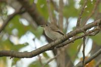 コサメビタキ - 白鳥賛歌