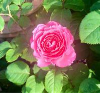 ヒーリングの秋バラ♫と野望を胸に♡と、美味しそうな葉っぱを記念に✨ - 薪割りマコのバラの庭