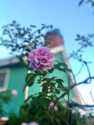 久しぶりのレイニーブルー♡たじろき過ぎな主人(T . T) - 薪割りマコのバラの庭
