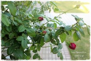 赤いつぼみ - La rose 薔薇の庭