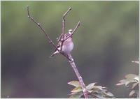 可愛い顔したコサメビタキ - 野鳥の素顔 <野鳥と日々の出来事>