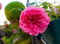 薔薇と新芽が出てきたクレマチス - チョコROSEGARDEN