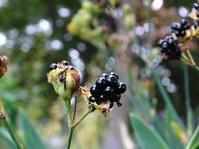 ヒオウギの種子 - Magnolia Lane 2