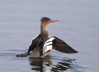 MFの沼にてウミアイサその2(羽ばたき) - 私の鳥撮り散歩