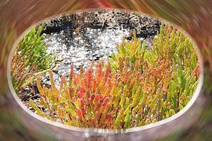 元木義明さんの作品です 20201006 干拓の厚岸草色付き始め - 素敵な仲間