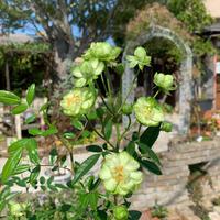 斑入りアジサイ、オススメです^ ^ - ブレスガーデン Breath Garden 大阪・泉南のお花屋さんです。バルーンもはじめました。