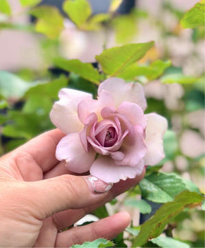 ニューウェーブのスタンダードの秋バラと素敵なお届け物🎁✨ - 薪割りマコのバラの庭