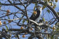 隣の鷹はよく柿の木に止まる鷹だ…w - Olive Drab