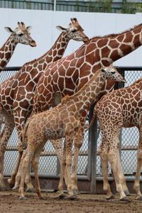 キリンっ仔「ノン」~ノゾミ母さんの死を乗り越えて(多摩動物公園) - 続々・動物園ありマス。