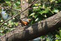 珍鳥ヤマガラの変種「ベンケイヤマガラ」さん♪初見♪初撮り♪ - ケンケン&ミントの鳥撮りLifeⅡ
