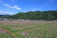 殿のコスモス畑- 開花状況② - - やきつべふぉと