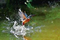カワセミ、翡翠、川蝉 - 池のフォト遊び