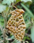 今日も蝶、そして花 - うまこの天袋