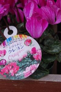 ガーデンシクラメン入荷しました - 花と暮らす店 木花 Mocca