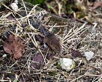 子年内にネズミが撮れた♡ほか、センブリなど - 星の小父さまフォトつづり