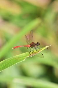 アキアカネ - 続・蝶と自然の物語