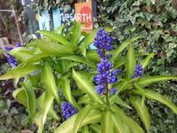 ブルージンジャー - だんご虫の花