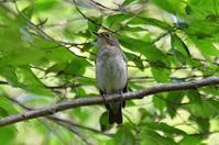 P森の鳥 - そらと林と鳥