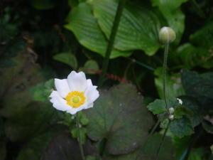 白い秋明菊10/17 -