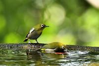 メジロ&ヒヨドリ - 池のフォト遊び