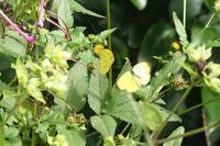 野の花を摘みにその2<キタキチョウの蛹> - そらいろのパレット