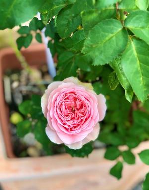 雨の後の心配が色々(T . T)とベニカXガード粒剤の効果は? - 薪割りマコのバラの庭