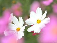 秋桜 1大阪府 - ty4834 四季の写真Ⅱ