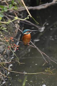 地元のカワセミ - 阪南カワセミ【野鳥と自然の物語】